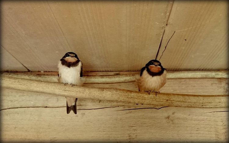 Animal Themes Birds Country Life Farm Life Geschwister Just The Two Of Us Niedersachsen No People Ostfriesland Posing For The Camera Schwalbe Siblings Sitting Swallows Two Two Animals Two Birds Two Is Better Than One Two Of A Kind Waiting Zwei