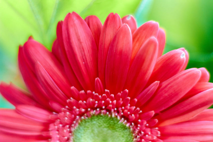 Beauty In Nature Blooming Close-up Elégance Flower Flower Head Freshness Growth In Bloom Nature No People Petal Pink Color Single Flower Springtime
