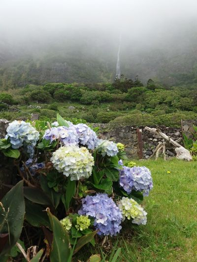 Hortência.. Faja Grande Flores Açores Fog No People Nature Outdoors Day Growth Landscape Rural Scene Beauty In Nature Freshness Tree Water Sky 35 Vukcevic Hello Hello World ✌ Travel Destinations Flower Head Plant Green Color Beauty In Nature Horizon Over Water Beach Nature Mountain