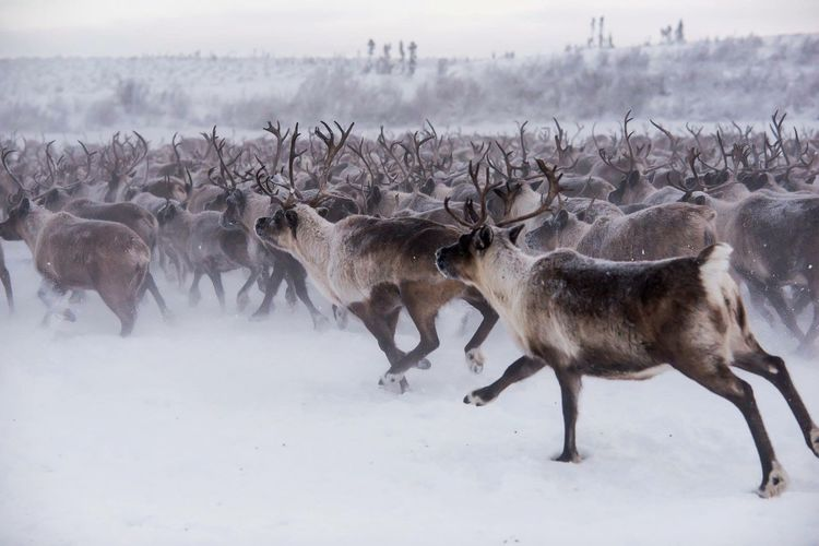 The traveling herd EyeEm Selects Animal Wildlife Animals In The Wild Deer Nature Antler Stag Mammal Snow Outdoors Winter Animal Themes No People Cold Temperature Sky Day Reindeer