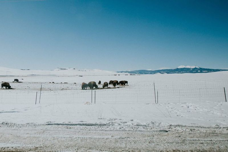 Colorado Mammal Animal Themes Domestic Animals Livestock Nature Snow Winter Landscape Clear Sky Outdoors Cold Temperature Day Beauty In Nature Scenics No People Sky