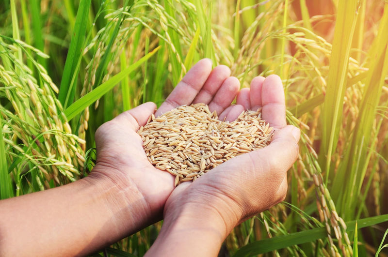 Cropped image of person holding rice seeds on field
