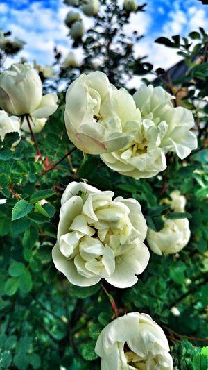 Roses Flowers Sky