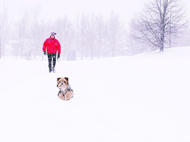 walking the dog Red And White Contrast Snow Fun Winter Wonderland Wintertime Snowflakes Red Jacket Canadian Winter Canada Dog Snowfall Snow Covered Snowing Walking The Dog Red Yorkshire Terrier Yorkie Snow Winter Cold Temperature Full Length One Person Adventure Nature Real People Shades Of Winter