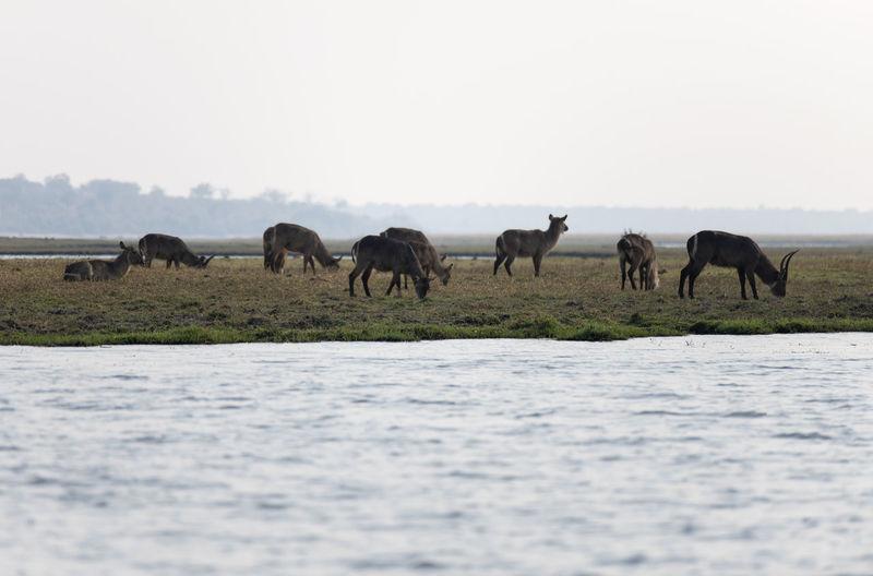 Waterbucks in the lake
