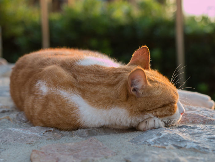 Animal Animal Head  Animal Themes Cat Close-up Day Domestic Domestic Animals Domestic Cat Eyes Closed  Feline Focus On Foreground Ginger Cat Lying Down Mammal No People One Animal Pets Relaxation Resting Sleeping Vertebrate Whisker