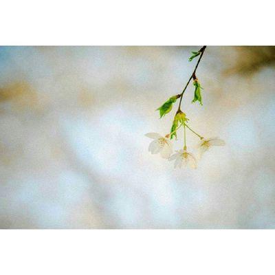 A99 Helios85 M42  수동렌즈 회오리보케 봄 벚꽃 여의도