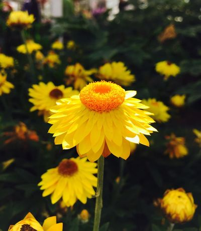 Flower Yellow Freshness Growth Flower Head Nature Beauty In Nature Plant Blooming Close-up No People