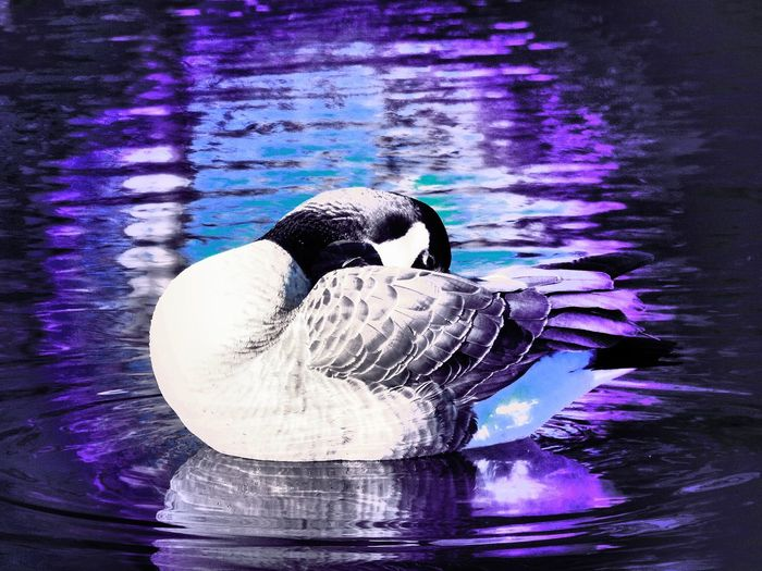 Goose Abstract original by me. CrazyFunnyCats Creative Artistic Canada Goose Hawrelak Park Canada Water Animals In The Wild One Animal Animal Themes Bird Lake Waterfront Swimming Reflection Animal Wildlife No People Water Bird Day Nature Outdoors Close-up Beauty In Nature