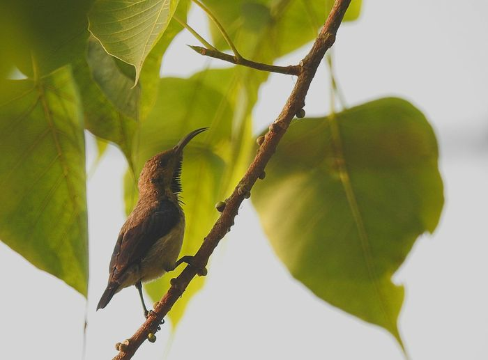 purple sunbird Green Color Growth Nature Plant Leaf Close-up No People Outdoors Day Freshness Beauty In Nature Branch Forest Birdhouse Beak Bird Watching Full Frame Birds Of EyeEm  Birds In Wild Birds🐦⛅ Green Color Birdwatching Beauty In Nature Birds_n_branches Perching