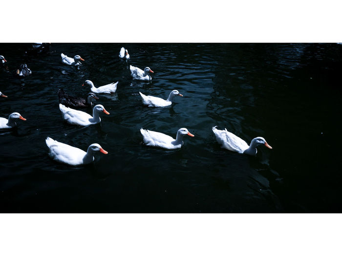 White beauty (2017) Animals In The Wild Water Animal Themes Large Group Of Animals Nature No People Lake Swimming Bird UnderSea Vintage Vintage Style Vintage Photography Ducks At The Lake Ducks In Water Ducks MexInstantes_Express_007 Begginer Cloudy Day EyeEm Selects Fish Sea Life Outdoors Day EyeEmNewHere