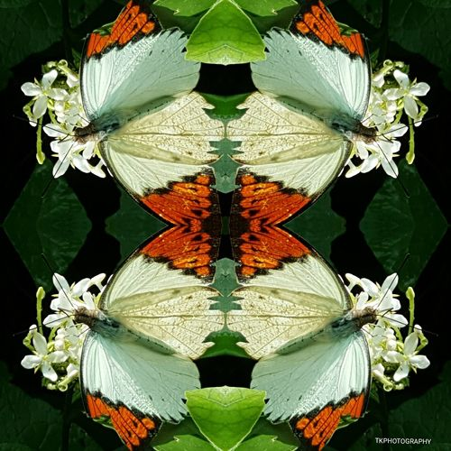 Flower Symmetry Close-up Flower Head Fragility Plant No People Leaf Nature Biology Beauty In Nature Garden Photography Butterfly - Insect Butterfly Eye4photography  Nature