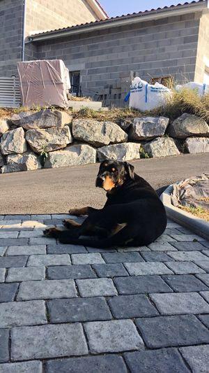 Dog Day Sunlight Paving Stone One Animal