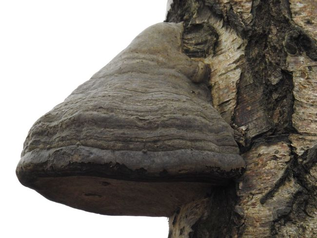 Beauty In Nature Nature Fungus 🍄 No People Birch Polypore Outdoors Tree Trunk Close-up Nature Polypore Not Cropped