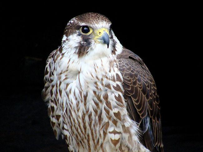 Animal Photography Animal Portrait Animal Themes Animal Wildlife Animals In The Wild Bird Bird Of Prey Birds Black Background Close-up Hawk Nature No People One Animal