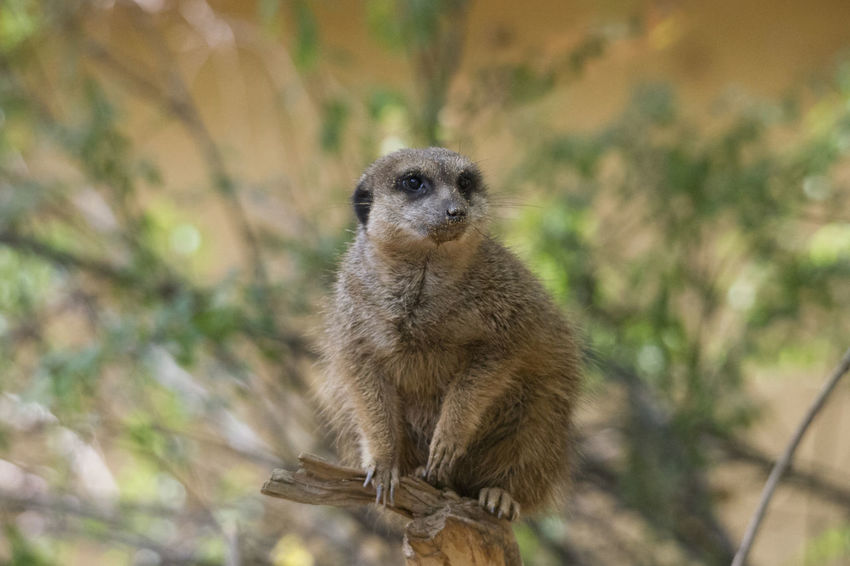 Animal Wildlife Animals In The Wild One Animal Mammal Focus On Foreground Vertebrate No People Day Meerkat Portrait Nature Looking At Camera Outdoors Primate Tree Zoology