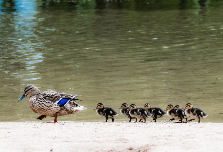 The Duck Family In The River Nature
