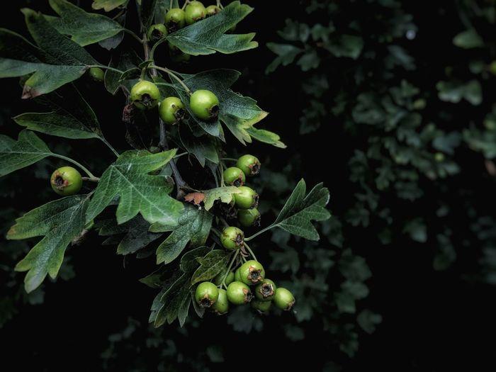 Close-up of growing oak tree