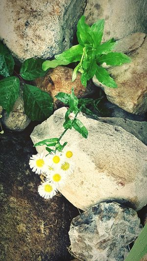Floralphotography Naturelovers Nature On Your Doorstep Small_world Nature_collection Nature Photography Nature Is Art Nature_perfection Countryside_life From My Point Of View Daisies The Great Outdoors With Adobe The Great Outdoors - 2016 EyeEm Awards