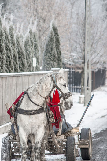 Beautiful Animal Carriage Cold Temperature Domestic Animals Horse Horse Cart Nature Outdoors Romania Snow Winter
