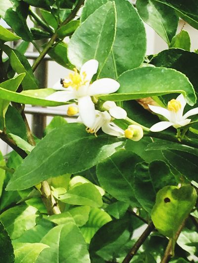 Green Flowers,Plants & Garden Smooth Floral Graceful Fancy Romantic❤ Perfect Delicate Powerful Nature Fresh And Clean Delightful Gracious Experimental Photography Thailand 2016 Freshness Cleanest Lime Flower Blossoming Fresh & Bright Blossom Time🌺 Blossom & Blooming Sunnyday☀️ Grassy White Color