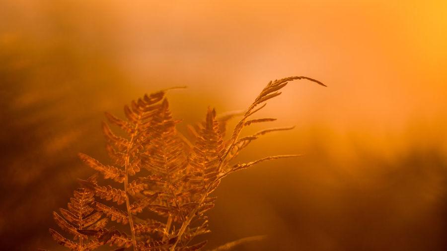 Close-up of wheat against orange sky