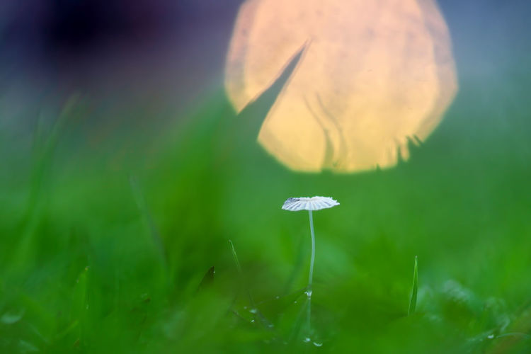 background of grass and mushrooms with bokeh Plant Growth Beauty In Nature Mushroom Freshness Selective Focus Nature Close-up Fungus Fragility Vulnerability  No People Vegetable Flower Flowering Plant Day Green Color Food Toadstool Land Outdoors Flower Head Dew