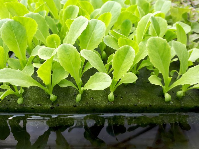 Close up vegetable seedlings on sponge in water on planting table in hydroponic farm Hydrangea Growing Plant Life Underwater Blooming Water Plant Green Color Plant Close-up Leaf Water Agricultural Equipment Fresh Healthy Healthy Eating Agriculture Technology Work Food Business Industry Salad Vegetable Garden Vegetable Farm Organic Hydroponics Cultivated Land Cultivate Seed Plant Part Growth Nature Beauty In Nature No People Day Outdoors Freshness Focus On Foreground Drop Wet Reflection Selective Focus Tranquility Leaves