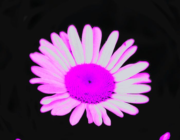 Purple daisey Flower Petal Black Background Beauty In Nature Flower Head No People Nature Multi Colored Close-up Outdoors Fragility Purple