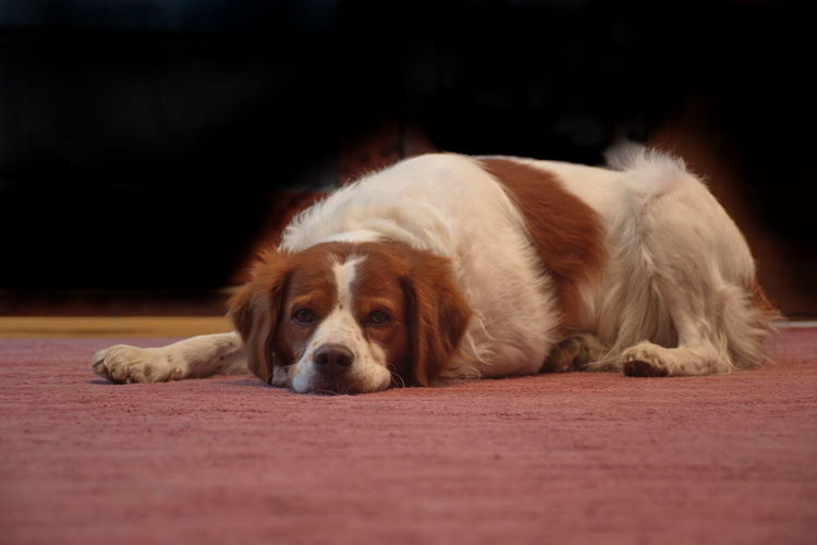 Canine Dog One Animal Mammal Domestic Animal Themes Pets Animal Domestic Animals Relaxation Lying Down Resting Indoors  No People Portrait Brittany Spaniel Cute Brown White Indoors