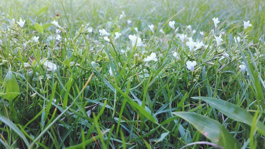 ดอกหญ้า Growth Nature Field Grass Beauty In Nature Plant Freshness Flower Fragility Snowdrop Green Color Day No People Outdoors Close-up Flower Head