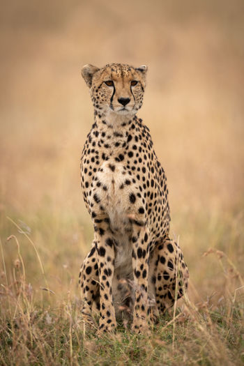 Cheetah sitting in long grass looking ahead Acinonyx Jubatus Cheetah Predator Carnivore Big Cat Cat Africa Kenya Masai Mara Kicheche Animal Wildlife Nature Travel Wilderness Animals In The Wild Animal Wildlife Animal Themes One Animal Mammal Feline Spotted No People Portrait Grass Safari Looking At Camera Undomesticated Cat Animals Hunting Alertness Outdoors