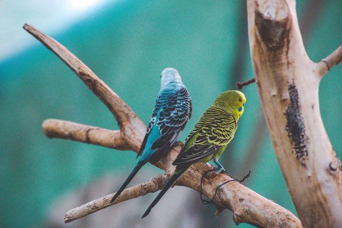 Parrots. 🦜 Couple Parrots Parrot EyeEm Selects Animal Animal Themes Animal Wildlife Animals In The Wild Vertebrate Bird Day Outdoors Green Color No People Tree Turquoise Colored
