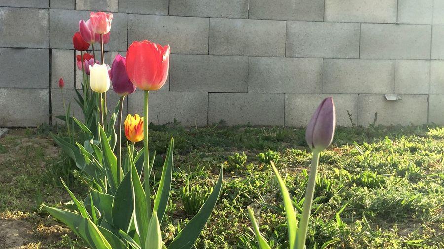 Tulips Enjoying Life Beautiful Nature Showcase April Springtime Sunisshining Green Color Nature Beauty In Nature Architecture Idyllic Concrete Wall In The Street Nextdoor Break The Mold