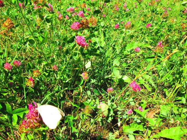 Bumblebee Hummel Mariposa Schmetterling Abejorro Beauty In Nature Biene Butterfly Flower Flower Head Flowering Plant Growth Maedow Nature No People Outdoors Plant Prado