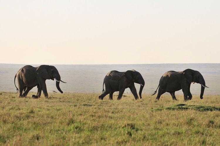 MasaiMara Kenia Safari African Elephant Animal Themes Animal Wildlife Animals In The Wild Day Elephant Grass Landscape Mammal Nature Nature Reserve No People Outdoors Safari Animals Sky