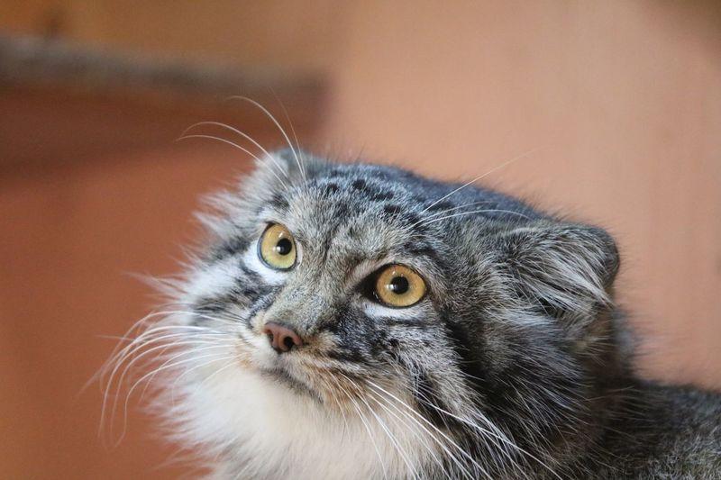 Wildcat Pallas