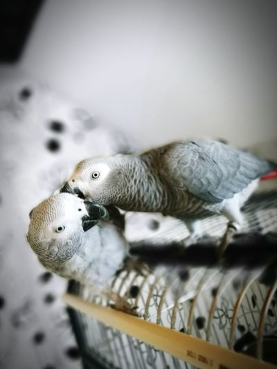Close-up of african grey parrots on electric fan