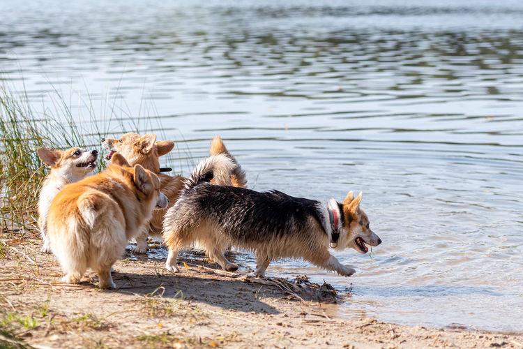 View of dogs drinking water in lake