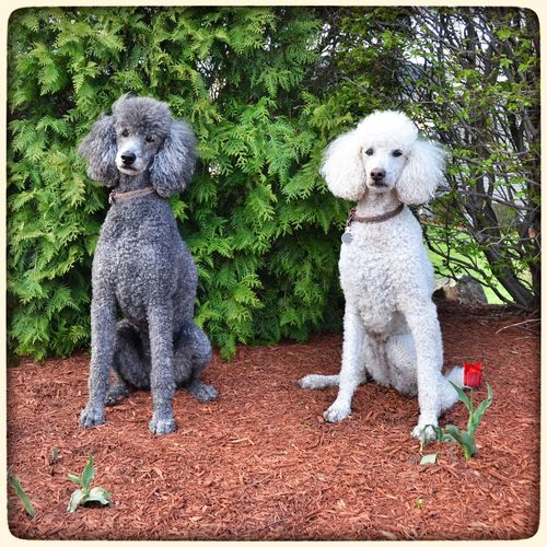 My Dogs Are Cooler Than Your Kids Standard Poodle I Love My Dog Dog Dogstagram Dog Walking EyeEm Best Shots Eye4photography  Cute Pets