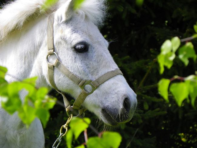 White horse White Horse Portrait White Horse Horse Domestic Animals Animal Themes One Animal Mammal Animal Head  Livestock Day Close-up No People Nature Outdoors