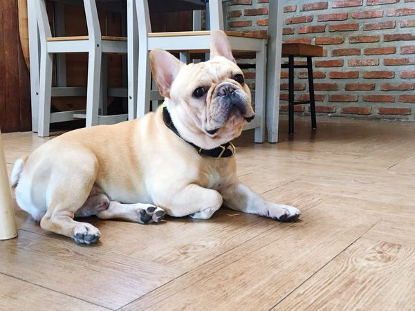 EyeEm Selects Canine Pets Dog Domestic Animals One Animal Domestic Sitting Bulldog No People Flooring Vertebrate Pet Collar Wood - Material Relaxation Lying Down Resting Animal Themes Mammal Animal Collar