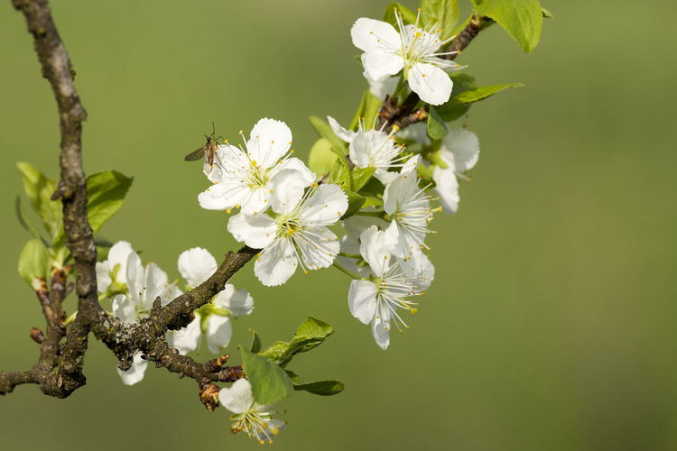 Animal Animal Themes Animal Wildlife Animals In The Wild Beauty In Nature Bee Cherry Blossom Close-up Flower Flower Head Flowering Plant Fragility Freshness Growth Insect Invertebrate No People One Animal Petal Plant Pollen Pollination Springtime Vulnerability  White Color