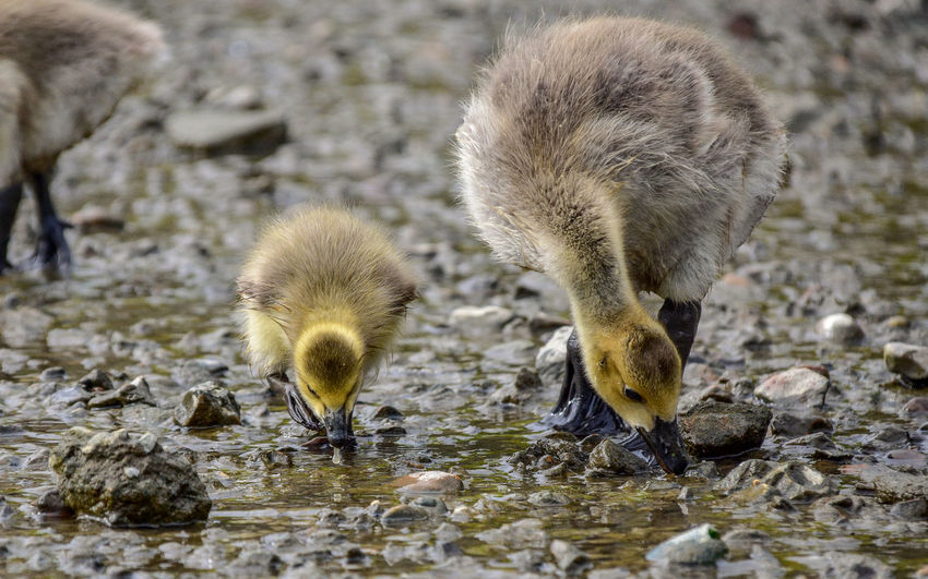 Animal Animal Themes Animal Wildlife Animals In The Wild Vertebrate Young Animal Young Bird Water Group Of Animals Bird No People Gosling Lake Nature Day Goose Beach Outdoors Animal Family Cygnet My Best Photo
