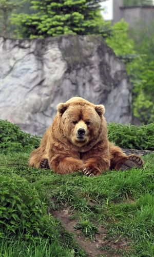 A beautiful bear 😃😀 Portrait Looking At Camera Close-up Grass Plant Green Color Bear Grizzly Bear