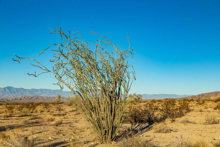 Arid Climate Beauty In Nature Blue Branch California Day Desert Environment Joshua Tree National Park Landscape Mojave Desert Nature No People Ocotillo Ocotillo Cactus Outdoors Plant Remote Rock - Object Sand Dune Scenics Sky Survival Tree Uncultivated