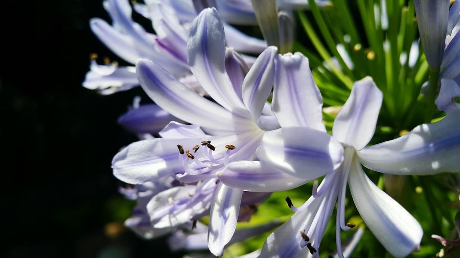 Close-Up Of Purple African Lilies Blooming Outdoors