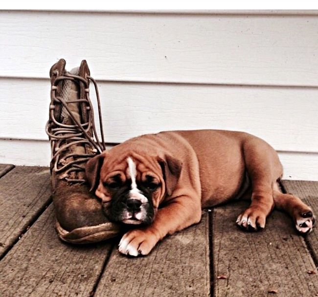 Bulldog Boots Dog Sad Sad Face Puppy Deck Wrinkles Military USA Army United States Puppy❤ Floppy Ears Check This Out