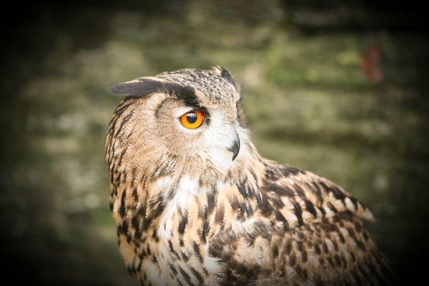 Owls💕 Owl Portrait. Canon5D Eye Em Nature Lover. Eye4photography  EyeEm Best Shots Vignette