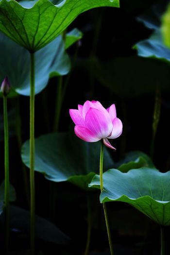 Flower Flowering Plant Plant Beauty In Nature Freshness Petal Fragility Growth Vulnerability  Close-up Pink Color Inflorescence Flower Head Plant Part Plant Stem Leaf Focus On Foreground No People Nature Lotus Water Lily